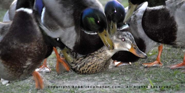 Ducks+rape+_ac561b50d6ddf0a1ec5f0d1403ce6184